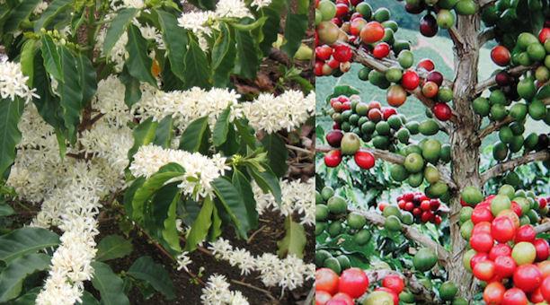 arabicatrees2