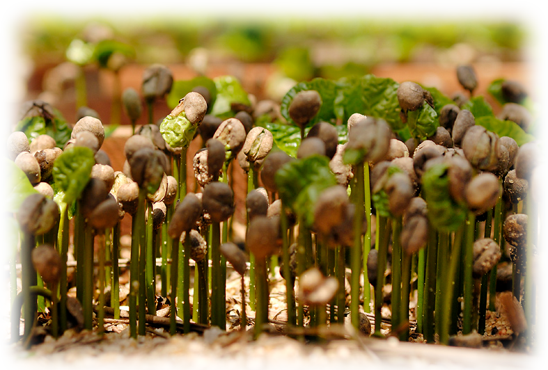 coffeesprouts